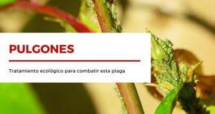 Tratamiento ecológico para pulgones