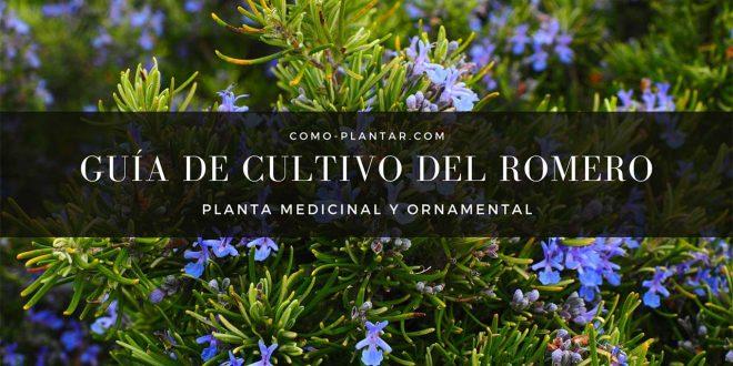 Guía para el cultivo del Romero o Rosmarinus officinalis