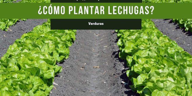 Aprende a plantar lechugas en casa