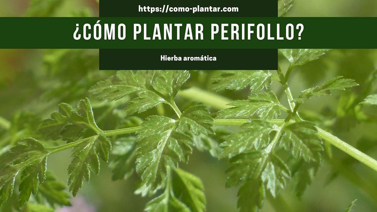 Aprende a plantar y cuidar el perifollo