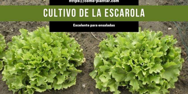 Aprende todo sobre el cultivo de la escarola