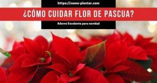 Cómo cuidar la flor de pascua y cuidados para que florezca en navidad