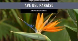 Cómo plantar ave del paraíso