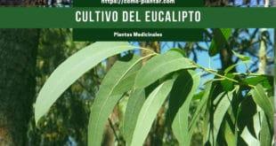 Cultivo del eucalipto