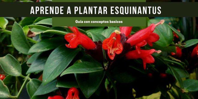 Guía para plantar Esquinantus