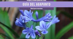 Guía de Cultivo y Cuidados dela Agapanto o Agapanthus