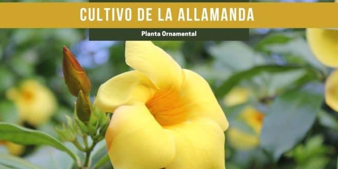 Guía de cuidados y cultivo de la allamanda