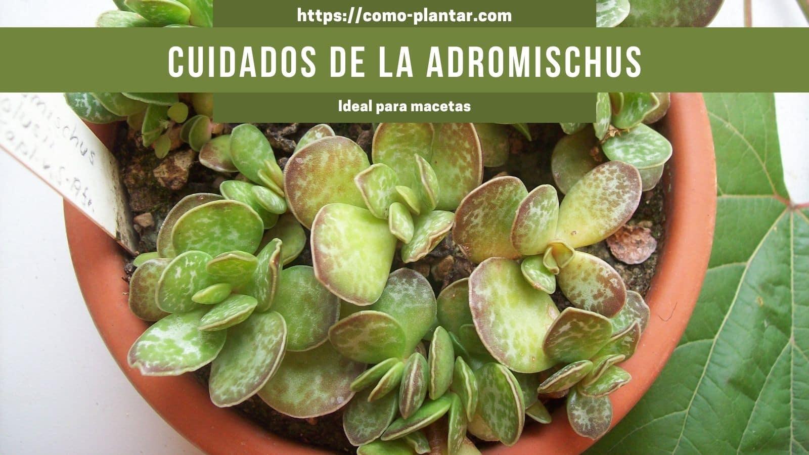 Guía para plantar, propagar y cuidar Adromischus