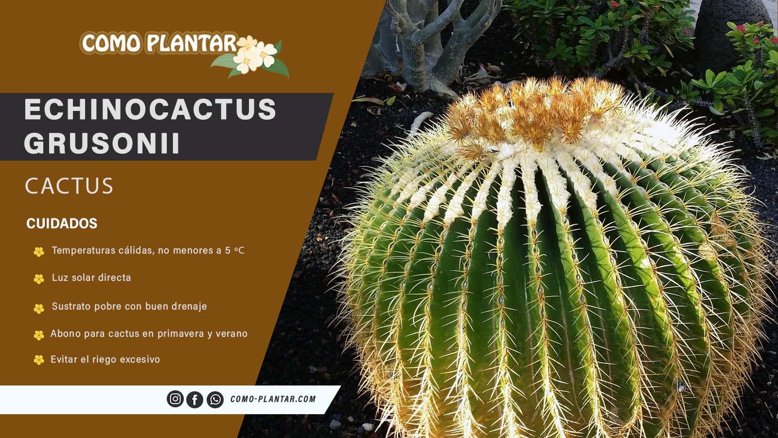 Guía de cuidados del Echinocactus Grusonii o asiento de suegra