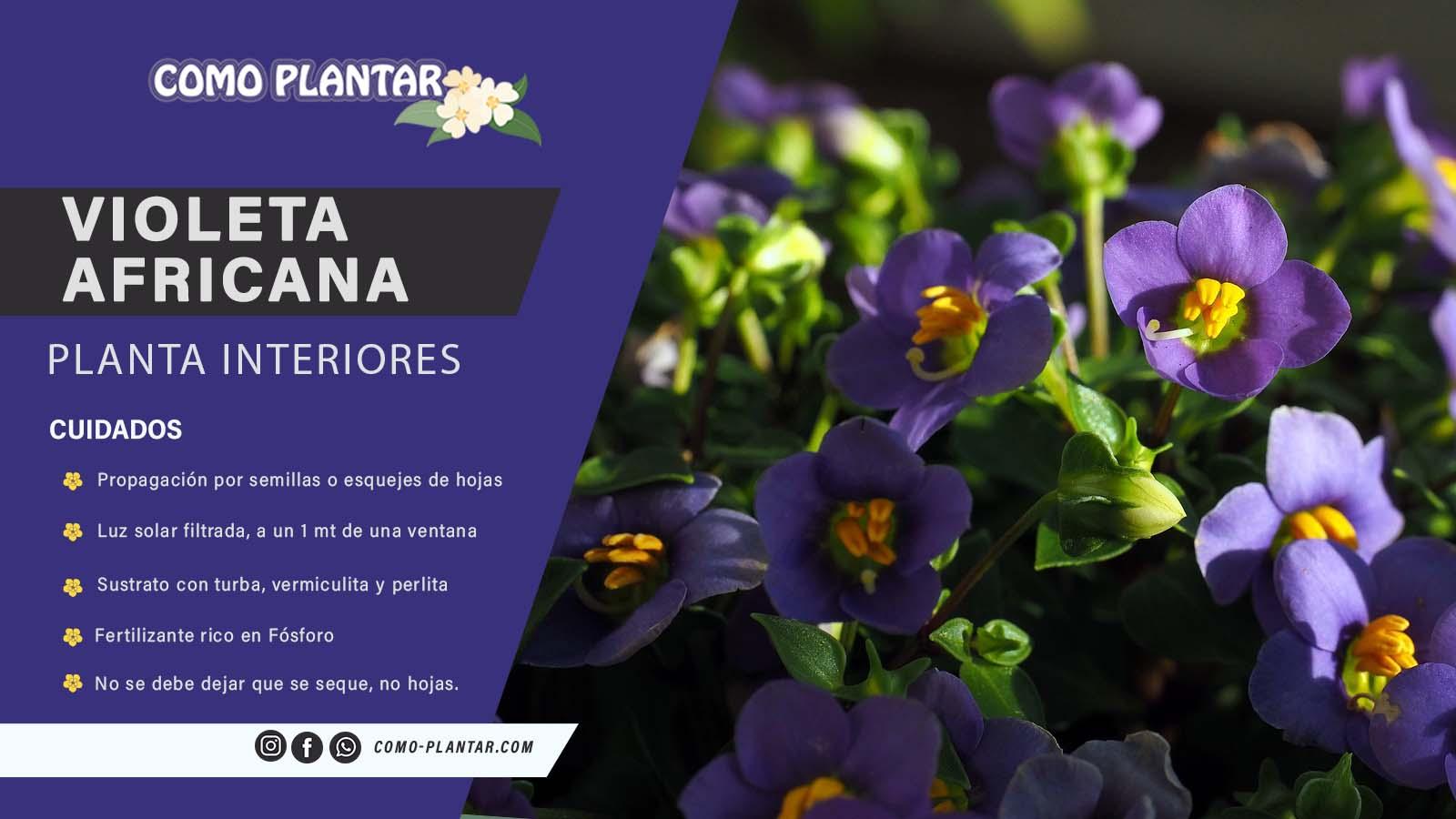 Guía para plantar esta especie floral y cuidados de la violeta africana